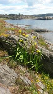 Svärdslilja, gråfibbla mm. på sydsidan av Stora Björnholmen